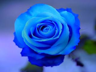 blue-rose_110658780