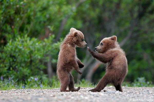 animals_baby_bears_playing
