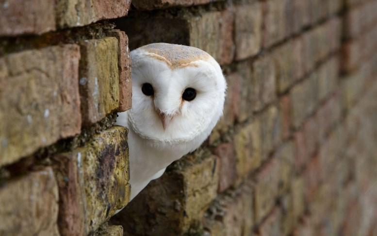cute-owl-wallpaper