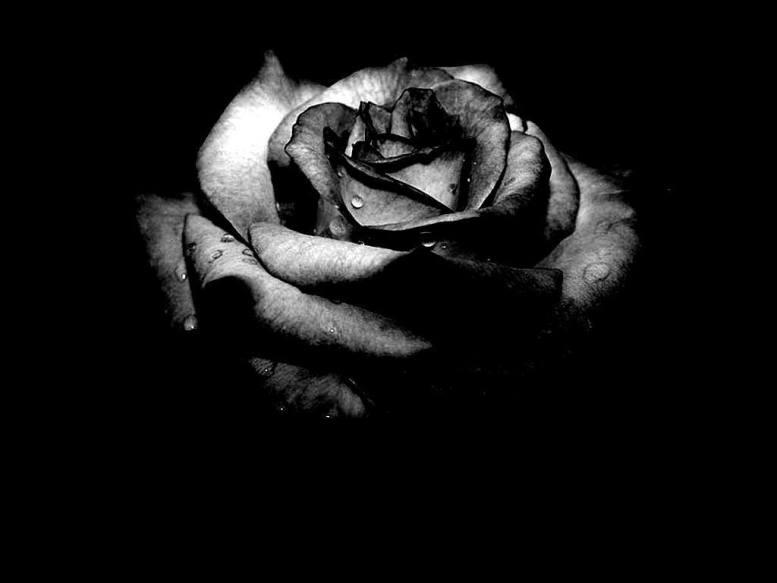 black-rose-symbols-of-death-most-beautiful-flower