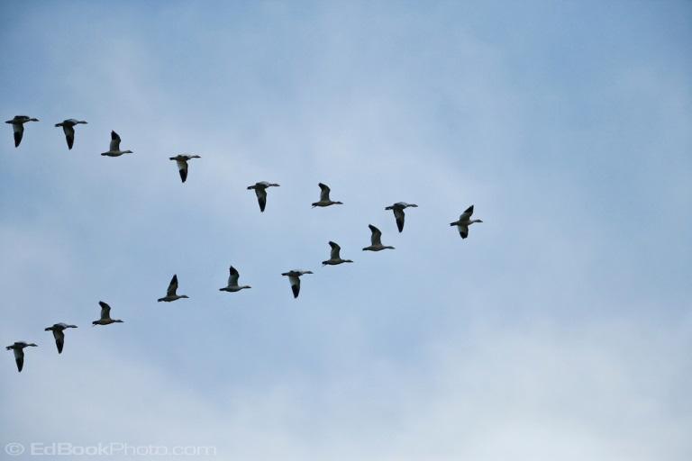 snow-geese.jpg