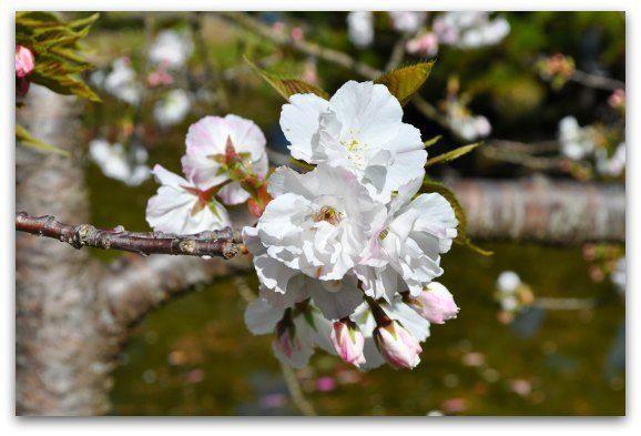 cherry-blossoms-april